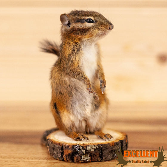 chipmunk full body taxidermy mount for sale
