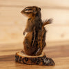 "Chipmunk on Wood ""Cookie"" Full Body Taxidermy Mount SW10797"