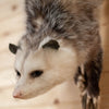 Excellent Opossum on Branch Full Body Taxidermy Mount SW10805