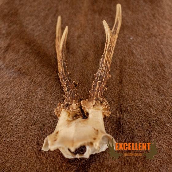 roe deer skull cap with antlers for sale