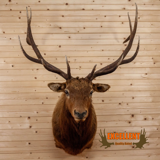 elk taxidermy shoulder mount for sale safariworks decor