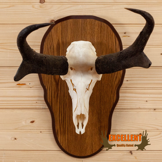 pronghorn antelope european taxidermy mount for sale
