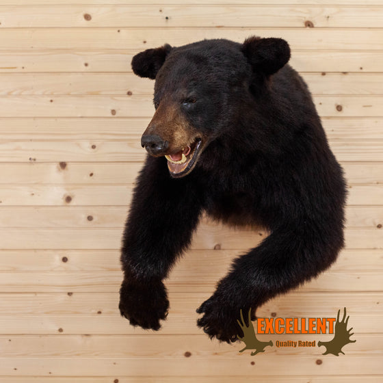 black bear half body taxidermy mount for sale