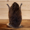 Excellent Full Body Attack Muskrat Taxidermy Mount SW10884