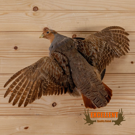 hungarian partridge in flight full body taxidermy mount for sale