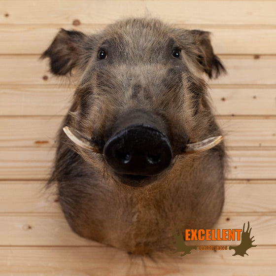 African bushpig taxidermy shoulder mount for sale