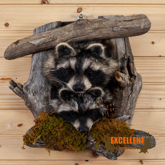 pair of raccoon kits peeking taxidermy mount for sale
