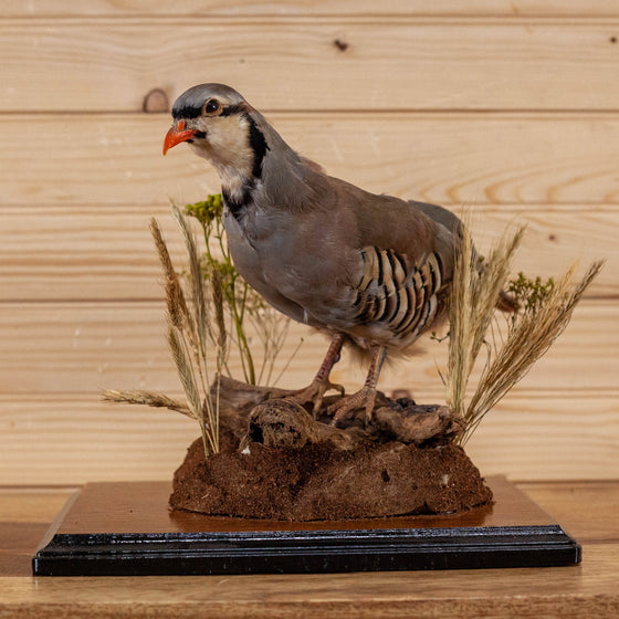 full-body lifesize chukar partridge taxidermy mount for sale