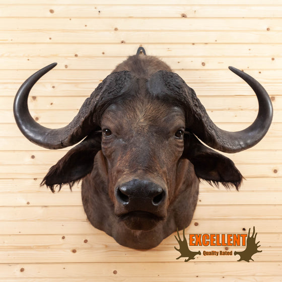 african cape buffalo taxidermy shoulder mount for sale
