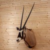 Nice African Gemsbok Taxidermy Shoulder Mount SW6652