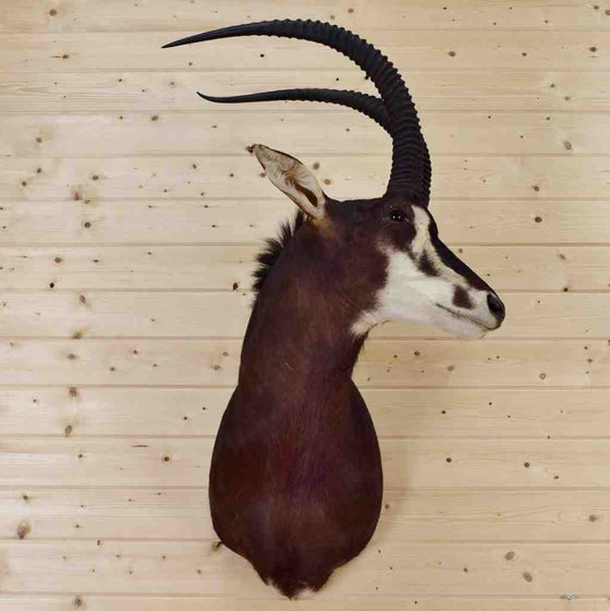 Sable Taxidermy Mount for Sale