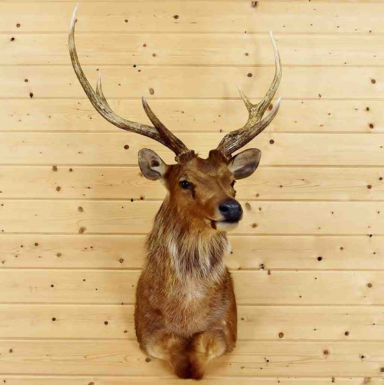Sambar Rusa Deer Head for Sale