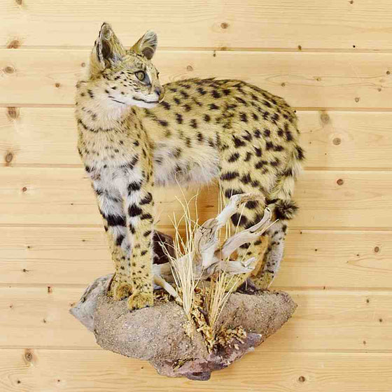 Serval Cat Hunting Trophy for Sale