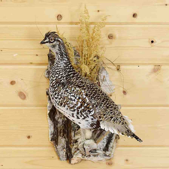 Sharptail Grouse Taxidermy Mount - Safariworks