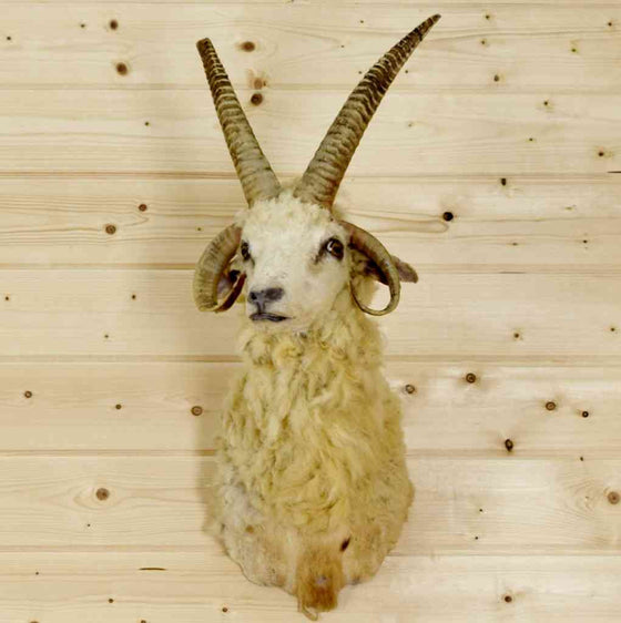Jacob's four horn sheep taxidermy mount