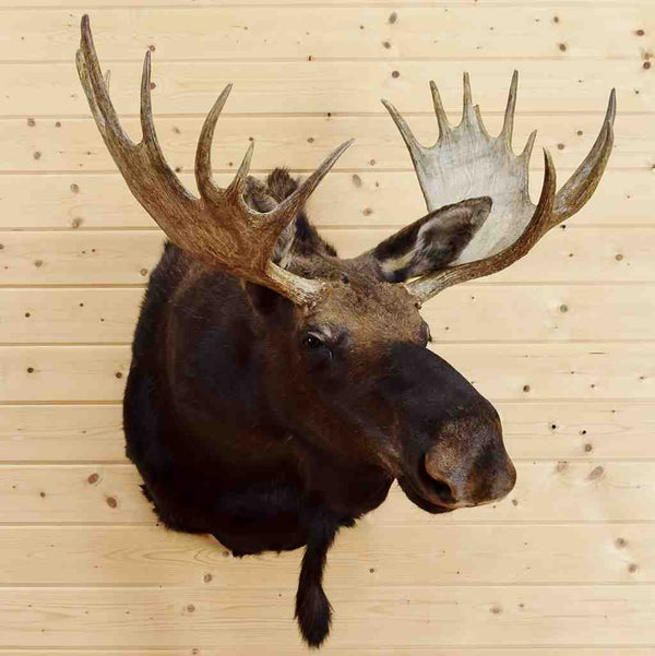 Shiras Moose Head For Sale Sw5422 At Safariworks Taxidermy
