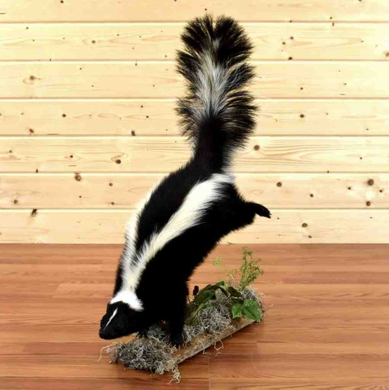Skunk Taxidermy for Sale