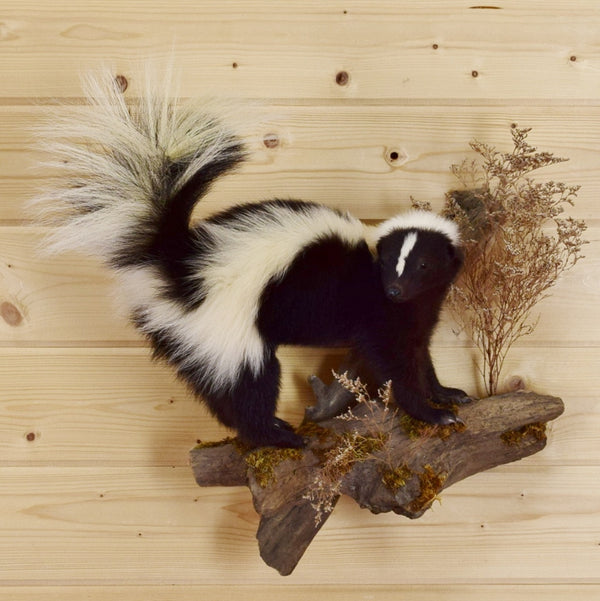 Skunk Taxidermy Wall Mount Sw4252 For Sale At Safariworks