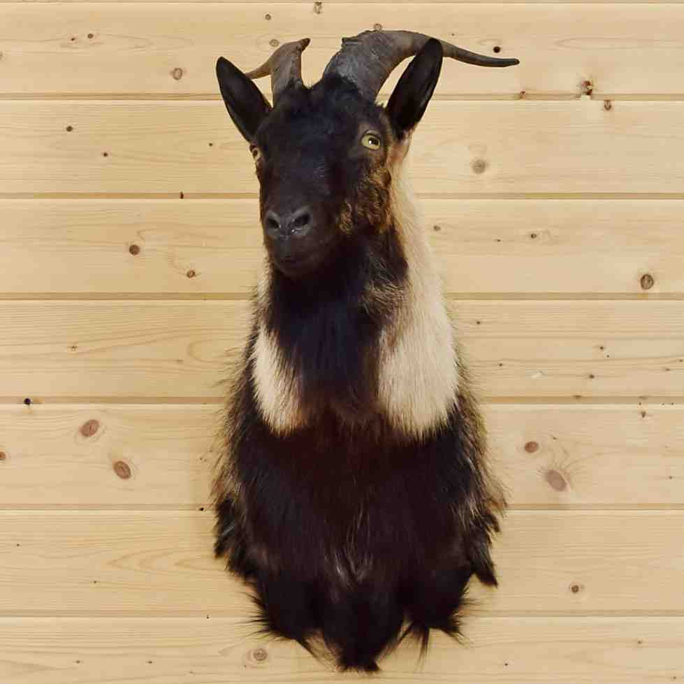Spanish Goat Taxidermy Mount - SW5571