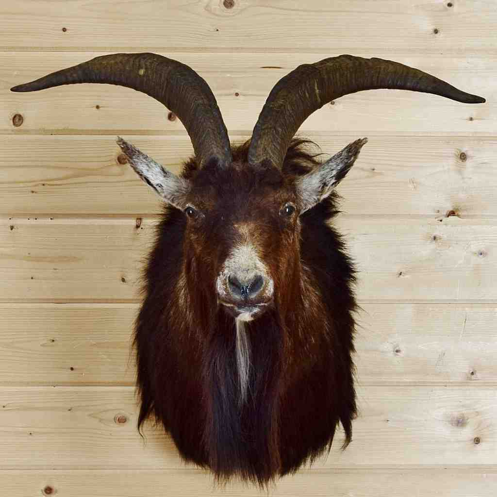 Spanish Goat Taxidermy Mount - SW5442