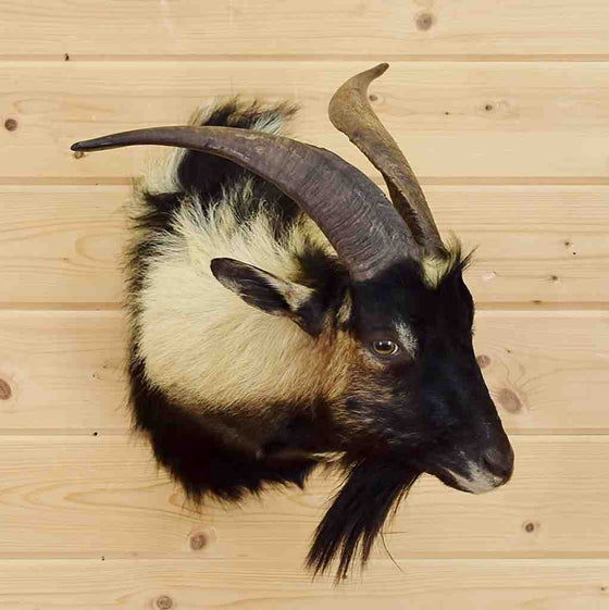 Spanish Goat Taxidermy for Sale