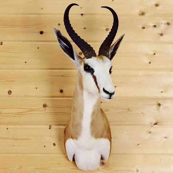 Springbok Taxidermy for Sale