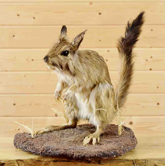 Springhare Taxidermy Mount for Sale