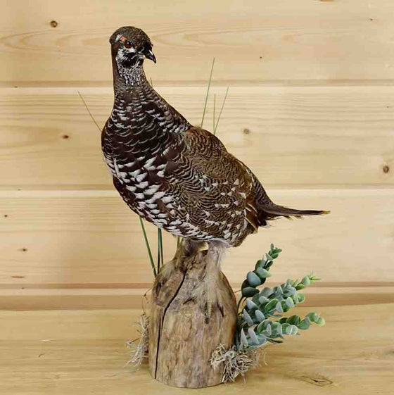 Spruce Grouse Taxidermy Mount