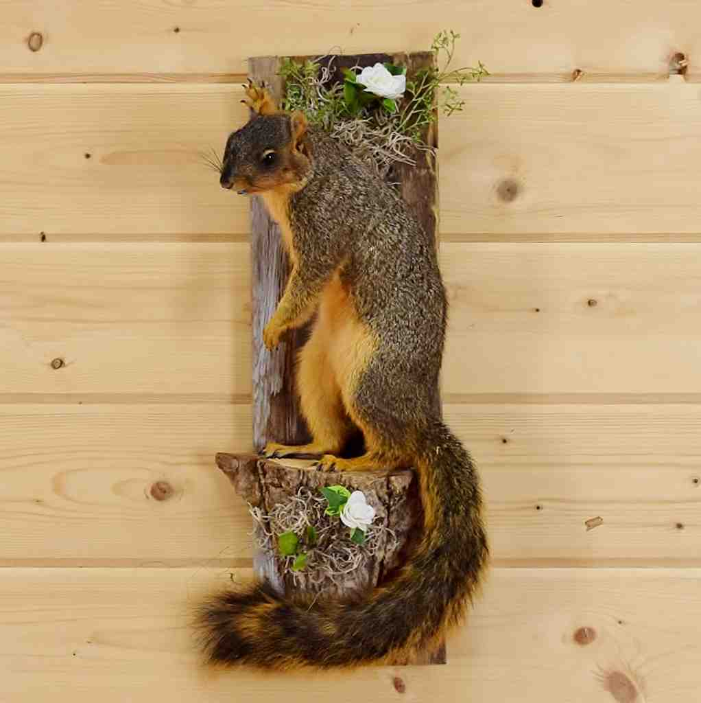 Taxidermied Fox Squirrel Mount Sw4665 Safariworks