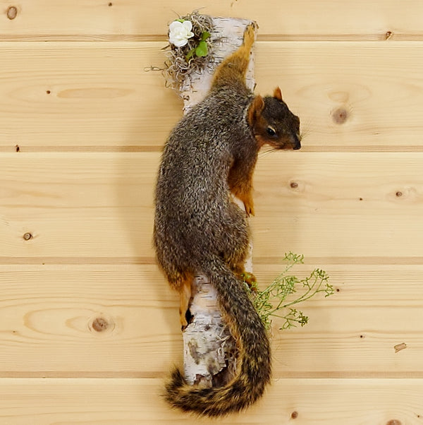 Climbing Fox Squirrel Mount Sw4666 Safariworks