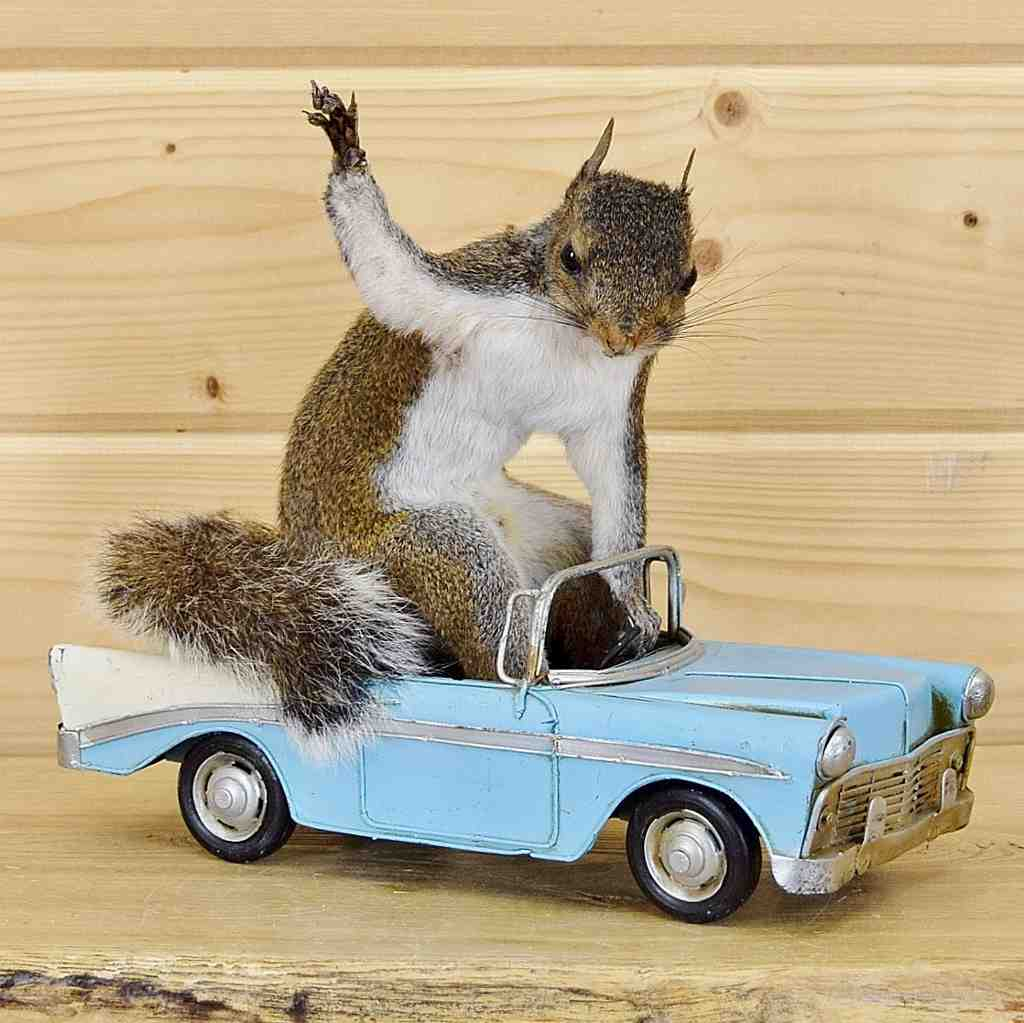 Squirrel Driving Car Mount Sw4651 Safariworks Taxidermy