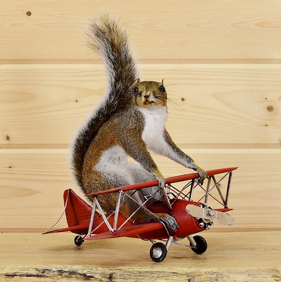 Red Baron Squirrel for Sale