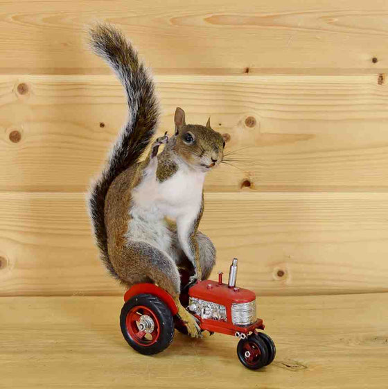 Squirrel on Tractor Taxidermy Mount