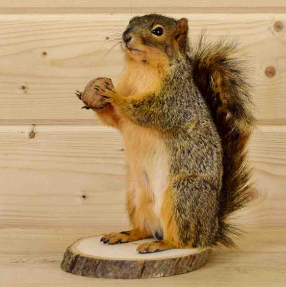 Fox Squirrel Taxidermy for Sale