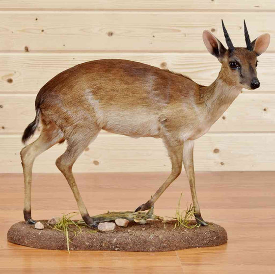 African Suni Taxidermy Mount - Safariworks