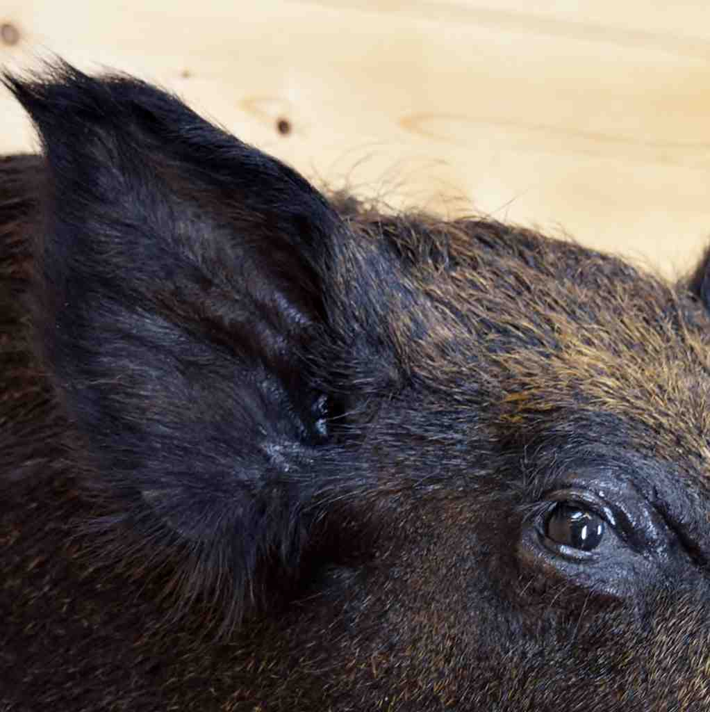 N American Wild Boar Sw5123 For Sale At Safariworks
