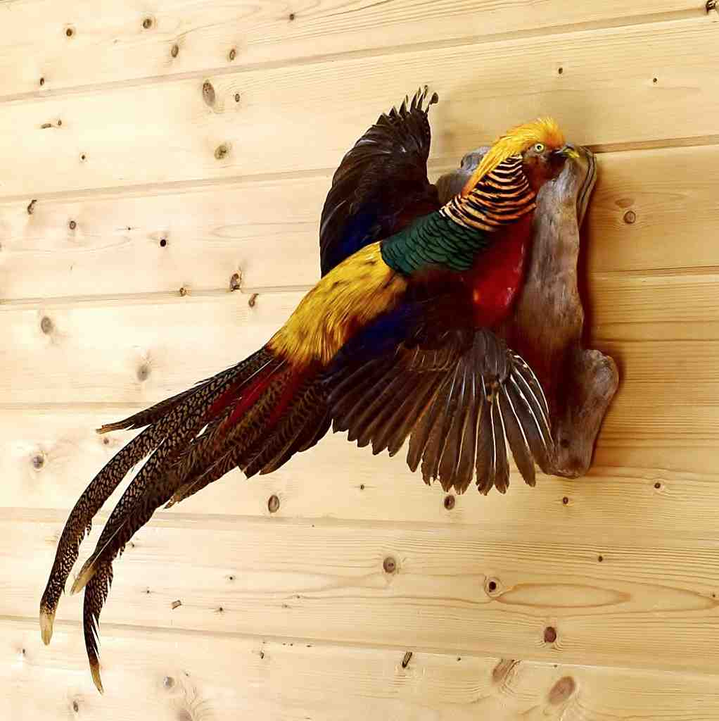 Flying Red Golden Pheasant Taxidermy Mount - SW4949