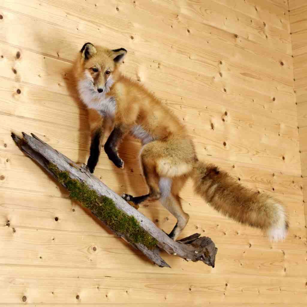 Red Fox Taxidermy Mount Sw4917 Safariworks Taxidermy