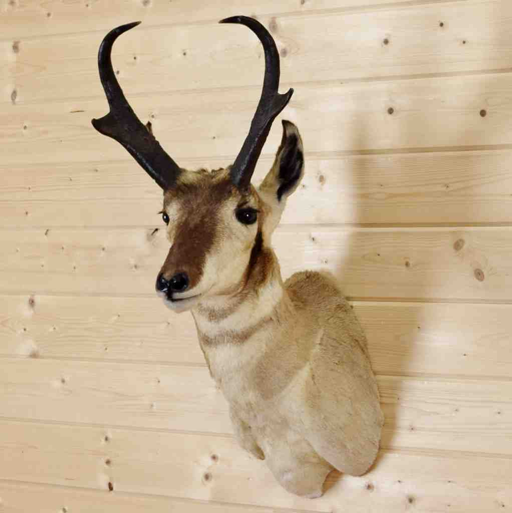 Pronghorn Antelope Taxidermy Shoulder Mount Sw4260 At