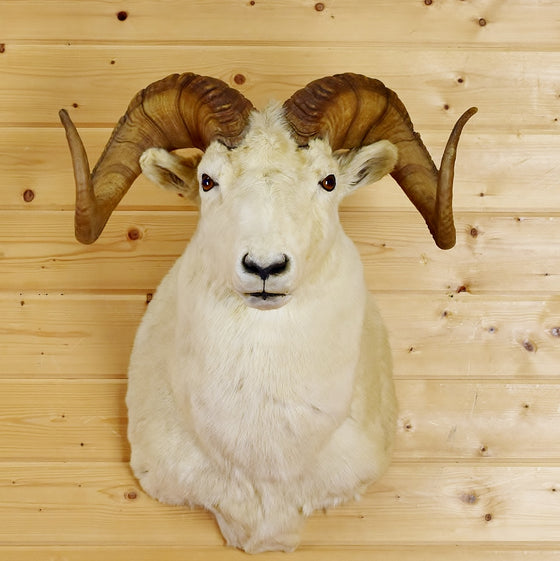 Texas Dall Taxidermy Mount
