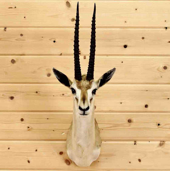 Thomson's Gazelle Mount