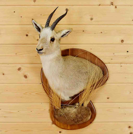Tibetan Gazelle Taxidermy Mount - Goa