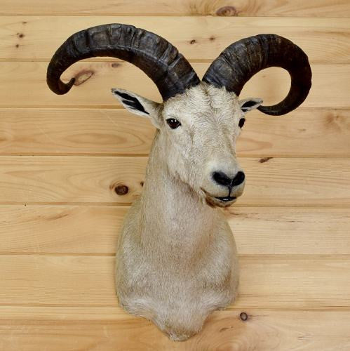 Tur Sheep Taxidermy Mount