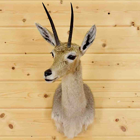 Vaal Rhebok Taxidermy Mounts for Sale
