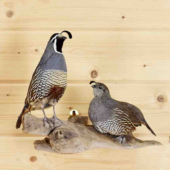 Valley Quail Mount for Sale