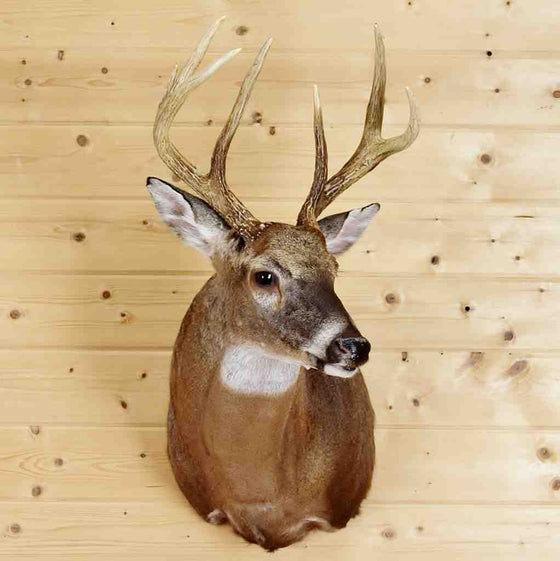 White-tailed Deer Taxidermy Mount