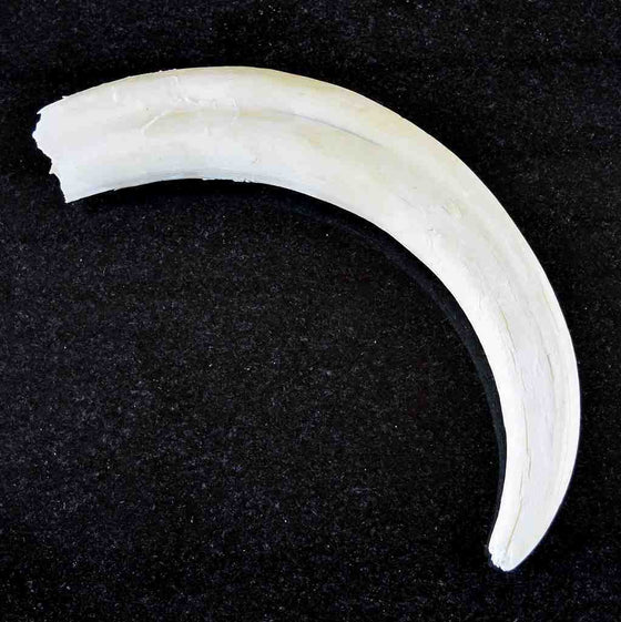 Warthog Tusks for Sale