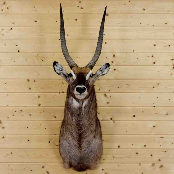Waterbuck Taxidermy Mount