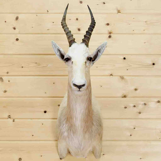 White Blesbok Taxidermy