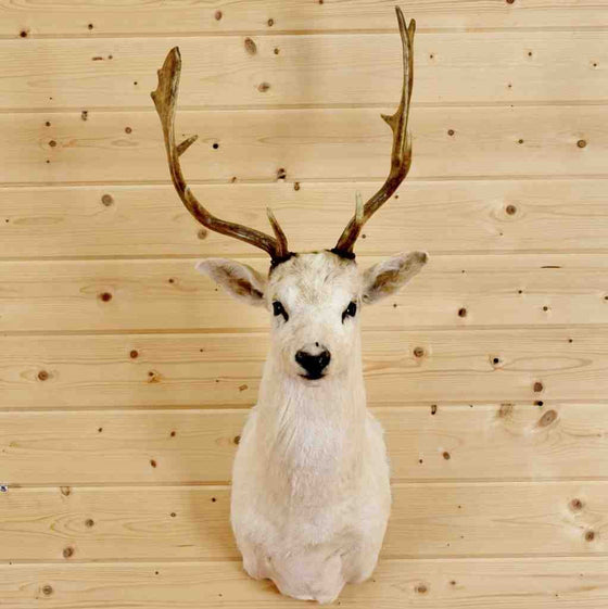 White Fallow Deer Head for Sale